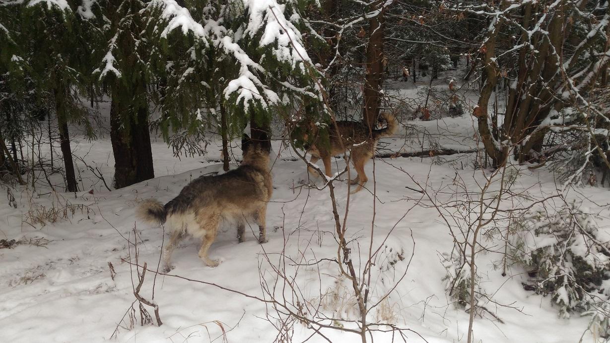 Зимняя прогулка с собаками в лесу